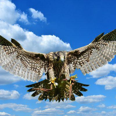 falcon-2681936_1920